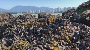 B.C. heat wave causes mass mussel deaths (03:41)