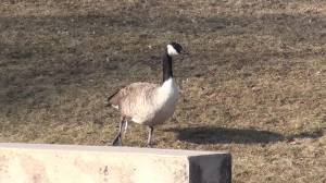Port Hope goose has fishing hook lodged in its leg