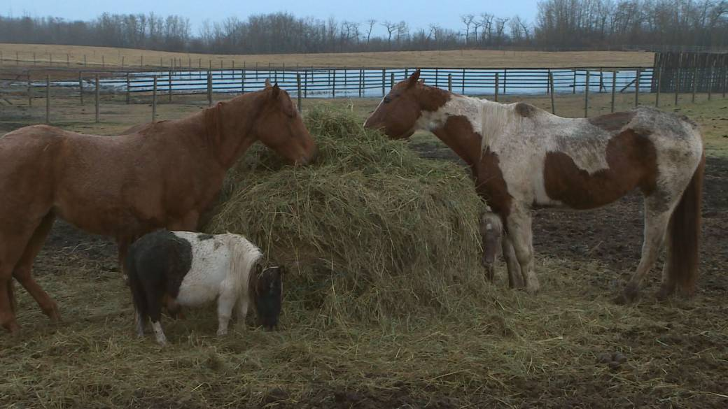 Alberta horse rescue asking for help amid high quality hay shortage