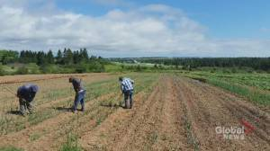 N.B. farmers relieved, frustrated over lifting of temporary foreign worker ban