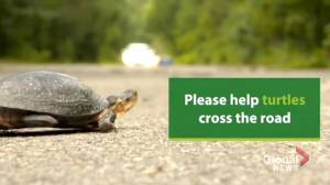Endangered turtles are getting struck and killed by cars, says conservation group (02:07)