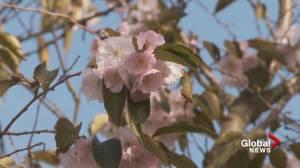 Burnaby cherry tree in full bloom in October (01:02)