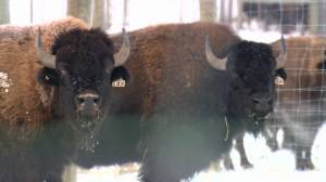 'A joy to work with': Farmers using bison to improve crop sustainability