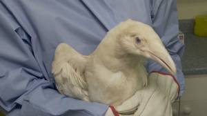 Rare white raven in treatment at wildlife rescue centre (01:56)