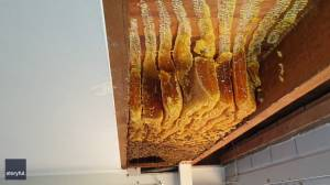 Eight-foot beehive removed from Australian home