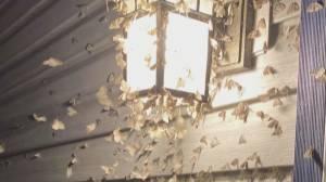 Looper moth outbreak beginning again (01:05)