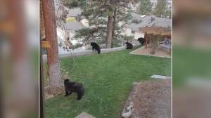 Okanagan community hoping to reduce conflict between humans, bears