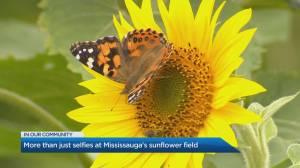Mississauga's Sunflower Field