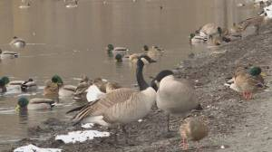 Vernon takes drastic measure to control its Canada goose population (03:12)