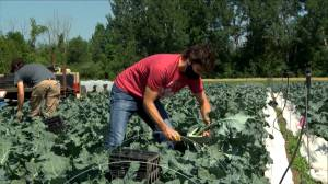 Canada Day: Trudeau and his family harvest vegetables at Ottawa Food Bank farm