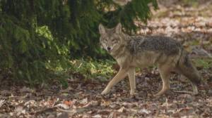 Three more coyote attacks in Stanley Park (01:54)