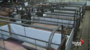 Hog producers welcome government support following processing backlog in Alberta (01:59)