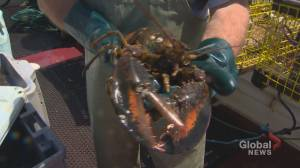 Lobster fishers get creative as market grinds to a halt