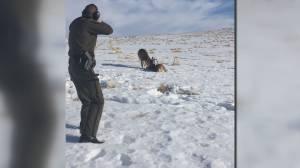 Calgary wildlife officer uses shotgun to free deer who locked antlers