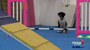 Pet trainers warn of possible surrenders due to cancellation of puppy classes (02:25)