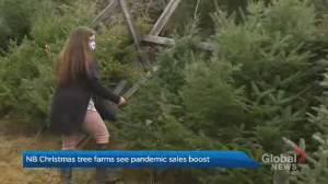 New Brunswick farmers say Christmas tree sales are soaring (01:12)