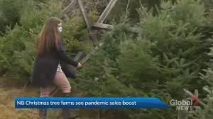 New Brunswick farmers say Christmas tree sales are soaring (01:12)