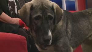Adopt a pet: Puma the Kangal Canine (04:31)