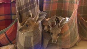 Australia wildfires: Residents rescue kangaroos, koalas as bushfires destroy their homes