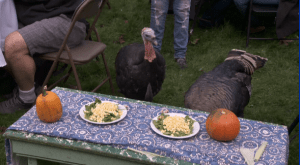 Turkeys guest of honour at vegan Thanksgiving