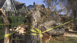 Vancouver woman manages to survive being knocked down by falling tree (02:16)
