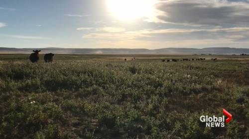 Southern Alberta cattle prices remain steady amid COVID-19 pandemic | Watch News Videos Online