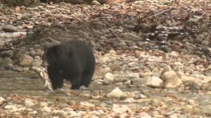Bear watching concerns at Coquitlam rivers and creeks (01:34)