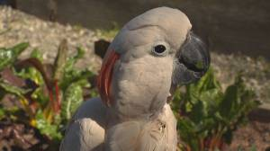 After life and death fight, rescued parrot lands loving home (01:50)