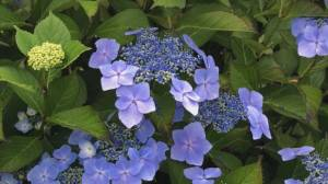 Gardening: Everything you need to know about Hydrangeas
