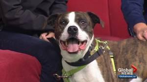 Calgary Humane Society Pet of the Week: Kayo (03:16)