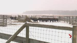 Bison moving from Elk Island National Park to new home