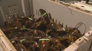 Canada's largest lobster season begins in Nova Scotia