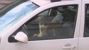 As temperatures rise in Okanagan BC SPCA worries about pets overheating in cars