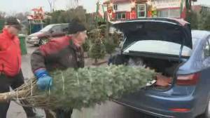 Christmas tree sales boom as people lift pandemic spirits (01:48)