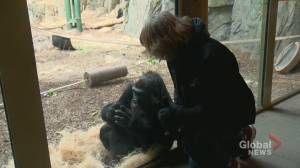 COVID-19 cases among San Diego gorillas has Calgary Zoo watching animals 'like a hawk' (01:49)