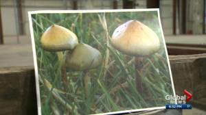 Health Matters: Alberta psychiatrist starts company to treat patients with psychedelic mushrooms (02:55)