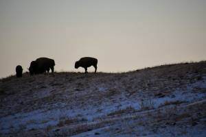 Waterton Lakes National Park welcomes back bison displaced after Kenow wildfire (01:55)