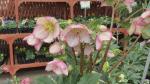 GardenWorks: hellebores for spring