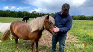 New Brunswick mental health counsellor uses equine-assisted therapy to help clients (01:54)