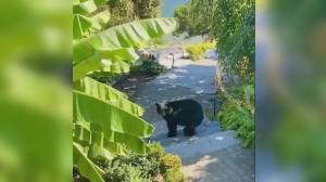 Black bear named Plum killed by conservation officers on North Shore (00:32)
