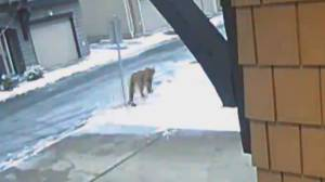 One Tri-Cities cougar killed, three still on the loose (01:59)