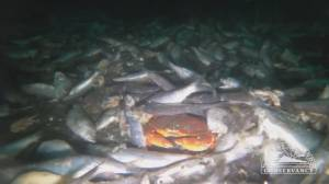 Thousands of herring dumped off Vancouver Island (01:57)