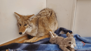 Manitoba coyote released into wild following month-long rehab
