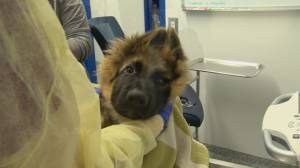 Surge in pets adopted during COVID-19 contributing to longer veterinarian wait times (01:53)