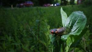 Brood X cicadas begin swarming U.S. capital region (01:57)