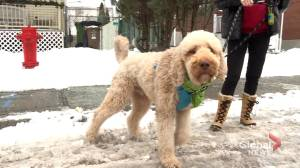 Coronavirus: Montreal groomer and pet owners up in arms over closures (02:09)