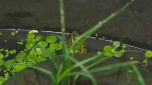 Edmonton Valley Zoo northern leopard frog recovery program