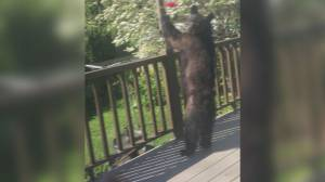 B.C. bear caught on video trying to score easy snack from bird feeders (00:48)