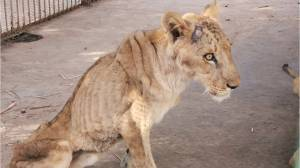 Footage of starving lions in Sudan prompts global campaign