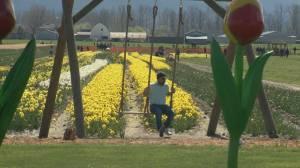 Popular B.C. tulip festival returns after one year hiatus (00:59)